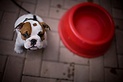 An adorable bulldog puppy next to a red bowl that is much bigger than he is.