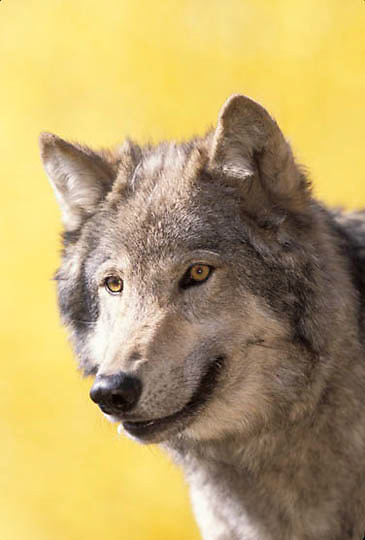 Gray Wolf, (Canis lupus) Portrait of adult. Rocky mountains. Captive Animal.