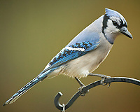 Blue Jay. Image taken with a Nikon D5 camera and 600 mm f/4 VR telephoto lens (ISO 320, 600 mm, f/4, 1/640 sec)