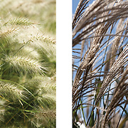 Grasses at RHS Wisley and Kew Gardens