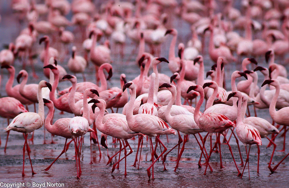 Lesser Flamingos, Lake Magadi, Ngorongoro Conservation Area, Tanzania.