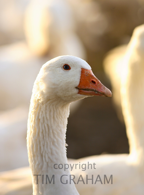 Goose, Oxfordshire, United Kingdom. Free-range birds may be at risk if Avian Flu (Bird Flu Virus) spreads