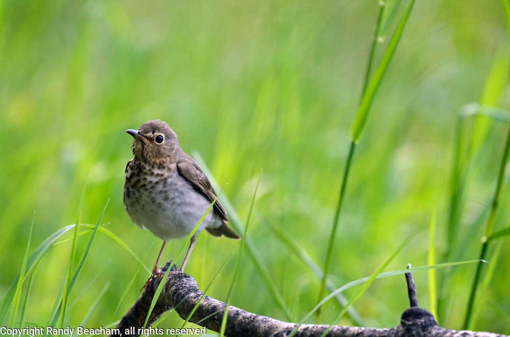 Swainson's thrush at the edge of forest and meadow in spring. Yaak Valley in the Purcell Mountains, northwest Montana.