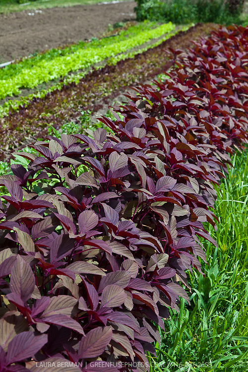 Red Amaranth greens..