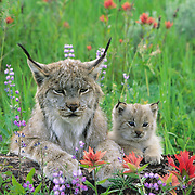 Canada Lynx and kitten in wildflowers in the Bridger Mountains in Montana. Captive Animal