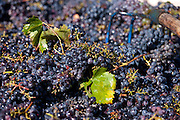 Sangiovese Chianti Classico grapes freshly-picked at Pontignano in Chianti region of Tuscany, Italy
