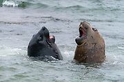 Young, fighting elephant seals (Mirounga leonina) from Sea Lion Island, the Falkland Islands.