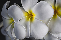Plumeria alba, Frangipani#2