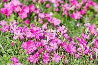 Oxalis flowers, Addo Elephant National Park, Eastern Cape, South Africa