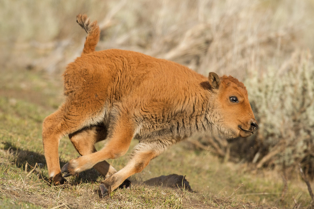 Full of vim and vigor, young bison calves spend hours running circles around adult members of their herd during their lengthy play sessions.