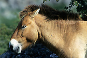 Przewalski's horse (equus przewalski), Cevennes National Park, , Lozere, France - Part of breeding herd to re-establish the horse to Mongolia Photo: Peter Llewellyn