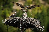JEROME A. POLLOS/Press..An osprey flies into a nest Tuesday with two juvenile ospreys at Wolf Lodge near Coeur d'Alene.