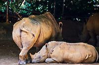 Singapour, Singapore Zoological Gardens, Mandai Zoo, rhinoceros // Singapore, Singapore Zoological Gardens, Mandai Zoo, rhinoceros