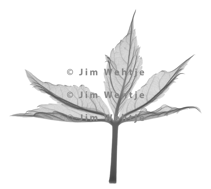 X-ray image of a Virginia creeper leaf (Parthenocissus quinquefolia, black on white) by Jim Wehtje, specialist in x-ray art and design images.