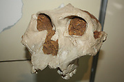 Part of the skull of an australopithecine - originally called Paranthropus crassidens.  Original in Transvaal Museum Pretoria, South Africa.