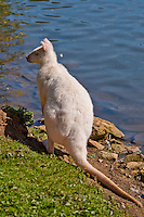 Chateau de Sauvage, France. An albino wallaby by the side of the lake in the animal park.