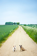 Best friends - two terriers, dog friends out for a walk together. Left - Jack Russell terrier, right - Border Terrier,