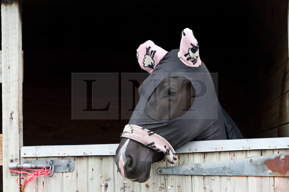 © Licensed to London News Pictures. 22/10/2016. Builth Wells, Powys, Wales, UK. A cob wears 'sheep patterned' ear warmers on a very cold and foggy start to the second day of The Autumn Cob Sale - the largest sale in the World of registered Welsh Cobs Section D, Welsh Ponies of Cob Type Section C and their Part Breds. The sale is undertaken by Brightwells and takes place over four days at The Royal Welsh Showground in Builth Wells, Powys, UK, attracting an audience of thousands of Welsh Cob enthusiasts worldwide. Photo credit: Graham M. Lawrence/LNP