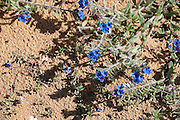 Wild Alkanet flowers (Alkanna tinctoria) AKA Dyer's Alkanet, Dyer's Bugloss. This plant is cultivated for the red dye extracted from its root. The root is also used in herbal medicine for its emollient properties. Photographed in Israel in February