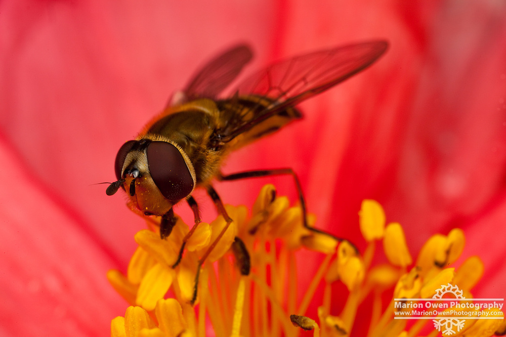 Macro view of syrphid fly feeding on pollen of Iceland poppy, thus acting as pollinator, Kodiak, Alaska garden