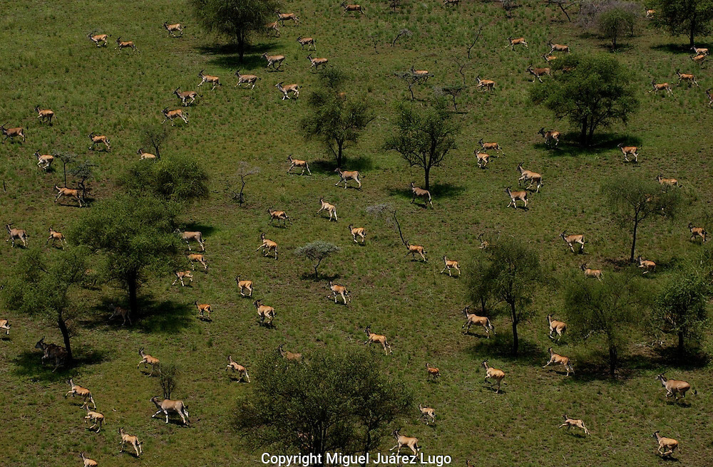 The Boma-Jonglei Landscape is home to some of the most spectacular and important wild life populations of ungulates, including  perhaps the largest wildlife migration in the world. An annual migration of  antelope called the white-eared kob may rival the famous wildebeest migration of the Serengeti. (PHOTO: MIGUEL JUAREZ)