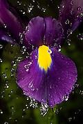 A blue magic hybrid iris derived from the north african iris (Iris tingitana) and the spanish iris (Iris xiphium).