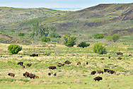 Bison herd on the Great Plains of Montana at American Praire Reserve. South of Malta in Phillips County, Montana.