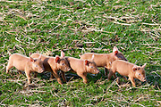 Tamworth piglets at the Cotswold Farm Park at Guiting Power in the Cotswolds, Gloucestershire, UK