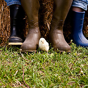 Closeup of one White Rock chick resting amid line up of three pairs of children's boots horizontal copy space