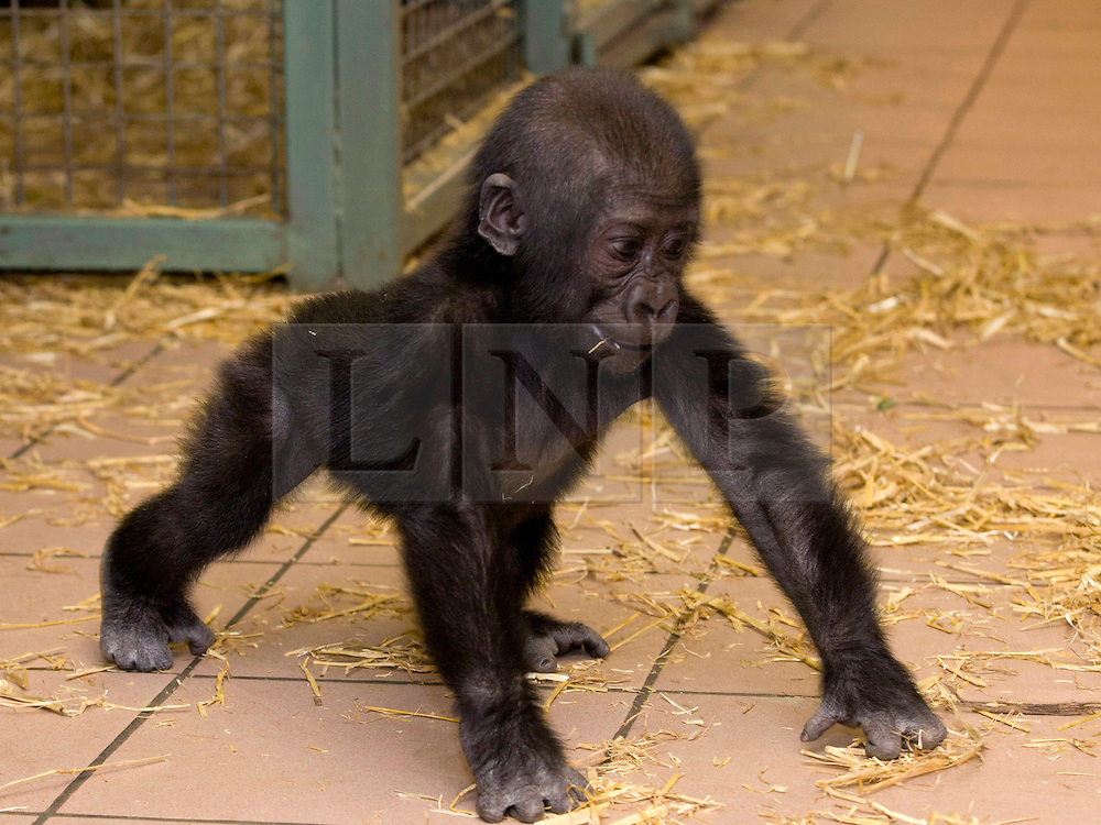 © Licensed to London News Pictures. 17/01/2012. FILE PICTURE. Twycross, UK. Okanda the baby gorilla at Twycross Zoo in Leicestershire, UK, who leaves for Germany today (Tuesday 17th January 2012). In October 2011 Okanda fell ill, possibly from a lack of nutrients from his mother's milk  and was withdrawn from the Gorrilla group for treatment. Despite efforts to reintroduce Okanda he was rejected by the group. Okanda will now be sent to Germany where he will be introduced to a new Gorilla group with gorillas of the same age where he will be able to fit in and learn from his peers. Photo credit: Dave Warren/LNP