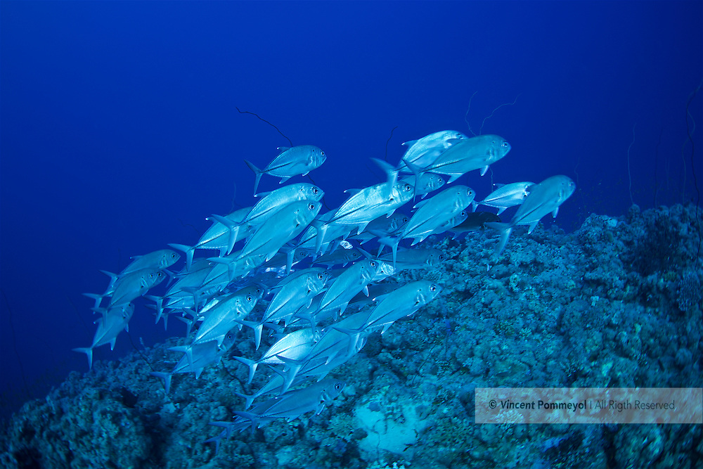 Bigeye trevally-Carangue à gros yeux (Caranx sexfasciatus) of Red Sea, Sudan.
