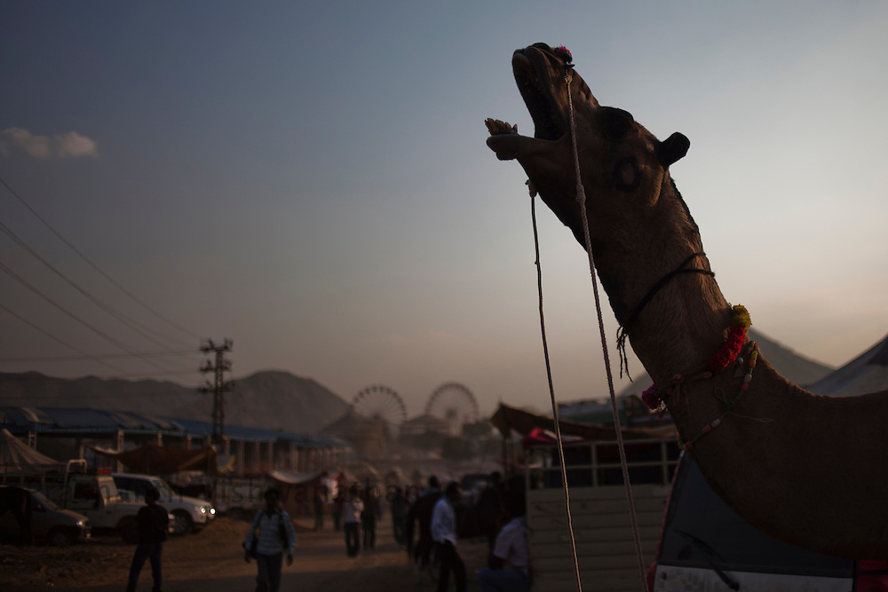 A camel yawns at the fair grounds in Pushkar, India, November 5, 2011.  Photographer: Prashanth Vishwanathan
