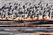Thousands of shorebirds, mainly dunlin (Calidris alpina), fly over the Bowerman Basin in Washington's Grays Harbor at sunrise. As many as a million shorebirds make a brief stop in the Grays Harbor National Wildlife Refuge each spring during their migration north to their breeding grounds.