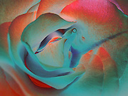 Undulations.  Sensual and undulating, a digital abstraction of a rose. © Laurel Smith