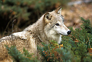 THIS PHOTO IS AVAILABLE FOR WEB DOWNLOAD ONLY. PLEASE CONTACT US FOR A LARGER PHOTO. Montana. Northern. Gray wolf (Canis lupus) (controlled conditions)