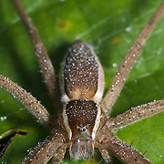 Pisauridae spider of the Dolomedes sp. aka Small water spider. Seen in Chaloem Phrakiat Thai Prachan National Park, Thailand