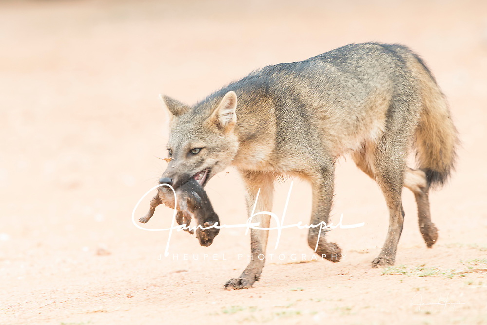 Crab-eating Fox Mother Carrying Kit