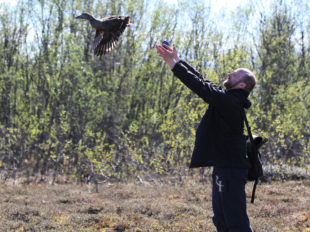 Biologist Sveinn Are Hanssen (Norwegian Institute for Nature Research) releases eider duck after taking measurements during field research on Grindoya island; Tromso, Norway.