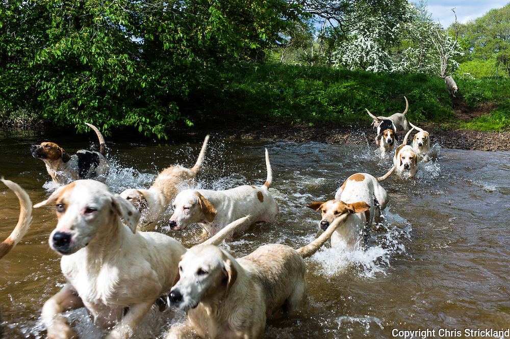 Bonchester Bridge, Hawick, Scotland, UK. 4th June 2015. Foxhounds of the Jedforest Hunt enjoy a playful afternoon in the river on a warm afternoon in the Scottish Borders with huntsman Johnny Richardson.