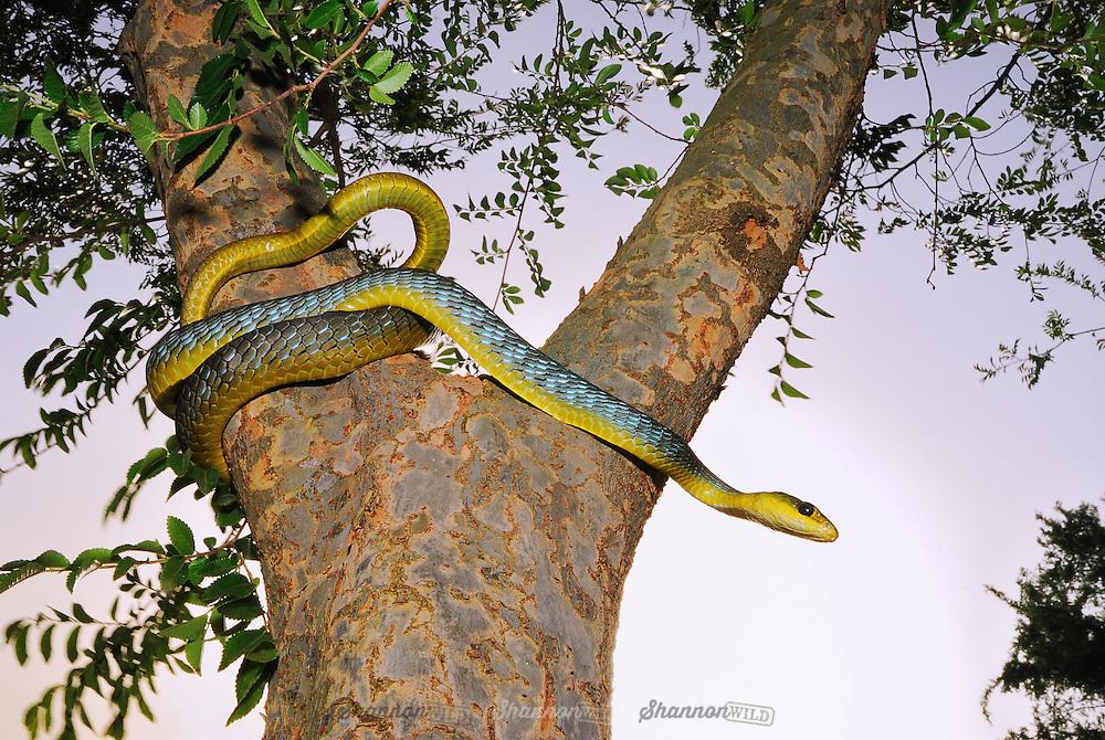 Common or Green Tree Snake (Dendrelaphis punctulata)