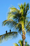 Pair of Osprey, Pandion haliaetus, on branch of palm tree, Captiva Island in Florida, USA