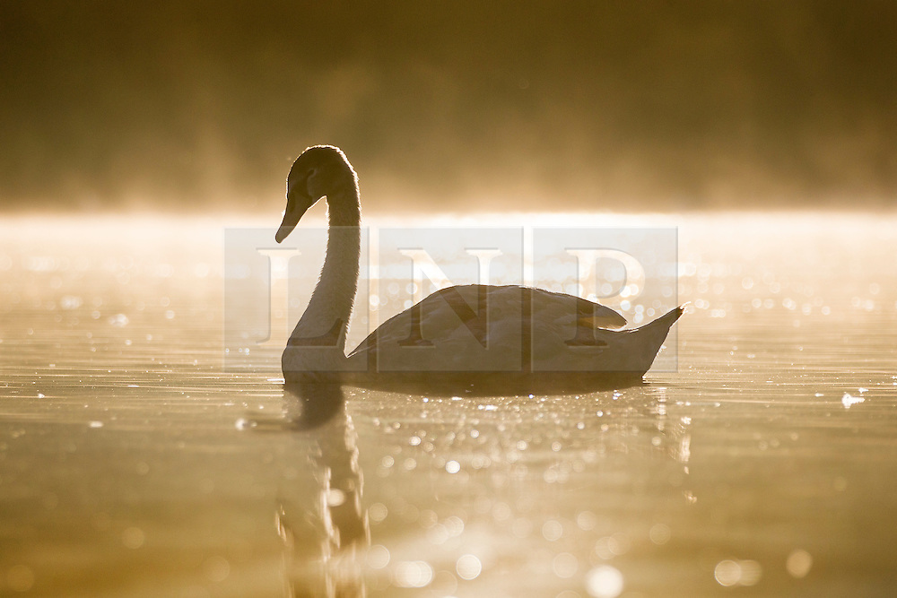 © Licensed to London News Pictures. 23/09/2016. Leeds UK. A Cygnet swim's across the lake in this mornings bright sunshine at Golden Acre park in Leeds. Photo credit: Andrew McCaren/LNP