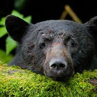 A black bear (Ursus americanus) at Thorton Creek Hatchery near Uclelet, BC.