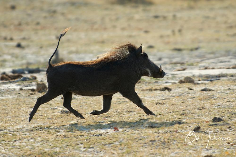 Warthog (Phacochoerus aethiopicus) on the run.<br /> Moremi, Botswana.<br /> September 2007.