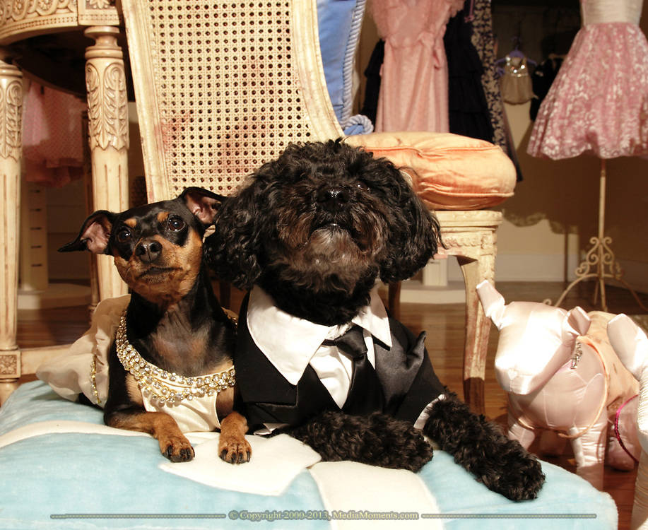 """Pippins (right) is wearing the Leonardo DiCaprio Tux, and Bella is wearing the Jennifer Lopez gown from the Academy Awards.  Pippins is a six year old """"pound puppy.""""  Bella is a seven year old Miniature Pinscher."""