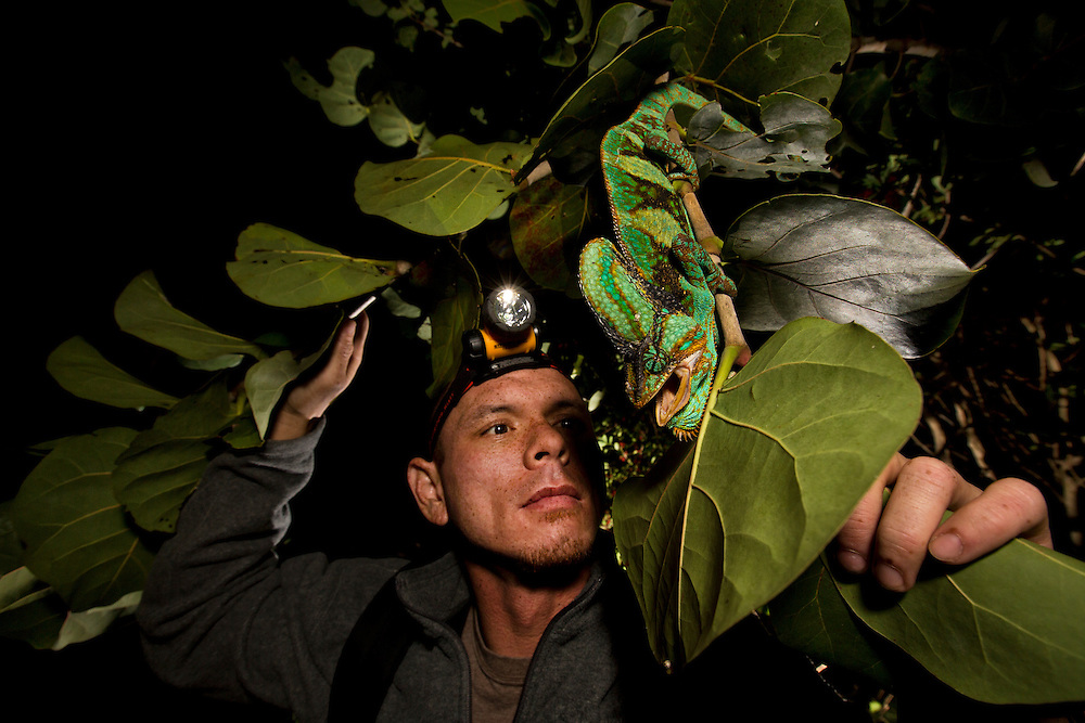A man looks at a veiled chameleon found at night on a branch in Florida.