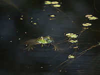 Bullfrog, Rana (Lithobates) castesbeinana;<br />