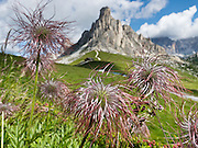 Fruit head of Pulsatilla alpina, alpine pasqueflower, or alpine anemone. From Gasthaus Passo di Giau (2236 meters), explore scenic trails of the Dolomites (Dolomiti, a part of the Southern Limestone Alps), northern Italy, Europe. The Dolomites were declared a natural World Heritage Site (2009) by UNESCO.