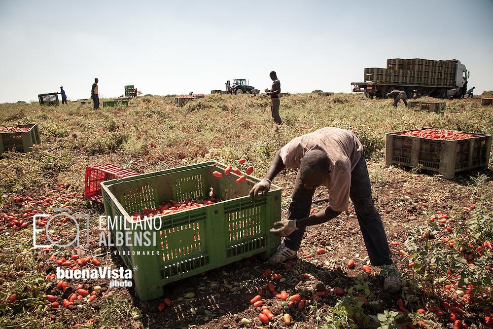 Boreano, Basilicata, Italia, 25/08/2012 <br /> I lavoratori stagionali impegnati nella raccolta dei pomodori nella zona dell'Alto Bradano<br /> <br /> Boreano, Basilicata, Italy, 25/08/2012<br /> Seasonal workers taken on tomato harvesting in the Alto-Bradano area.