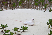 Red-tailed tropic bird on sand